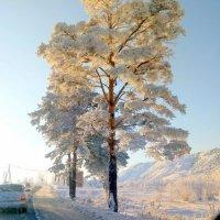 Сосна у дороги :: Лариса Корсакова