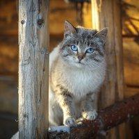 Мартовский кот... :: Сергей Винтовкин