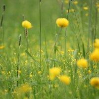 луговые цветы :: Анастасия Марченко