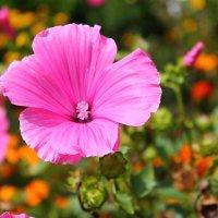 Розовая красота :: Ксения Бреева