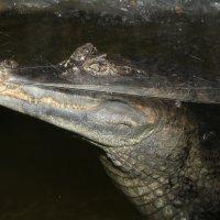 crocodile :: Альбина Еликова