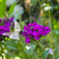 butterfly :: Ксения Шелюк