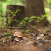 И гриб надежно охраняет в лесу усатый стражник пень.... :: Елена Kазак