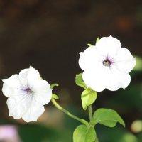 Два цветка :: Артем Аленин