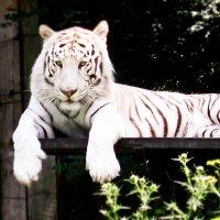 Тигр :: Наталья Понурко