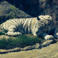 Белый тигр :: Роман Сибиряков