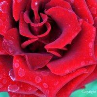 бутон дивной красоты :: Ирена Воргуль