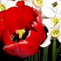 Тюльпан :: Ксения Макаревич