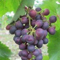 Гроздья винограда :: Александр Надежин