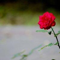 Роза :: Иван Высоцкий