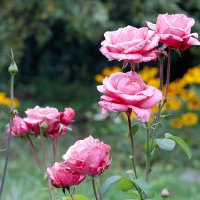 Розы розовые :: Ирина Татьяничева