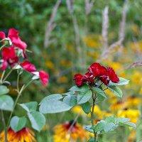 Розы :: Ирина Татьяничева