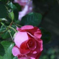 Роза :: elviira jukka
