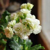 Цветок на окне :: Ольга Мальцева