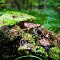 гриб на лесном пне :: Дарья Тихонова