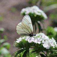 Бабочка :: Ольга Зарецкая