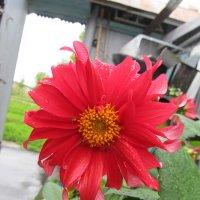цветок :: Дарья Селянкина