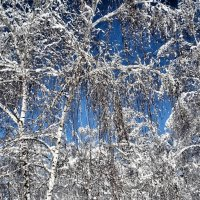 Березы под зимним убором... :: Владимир Бровко
