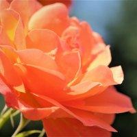 Пламенная роза :: Swetlana V