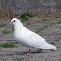 Белый голубь. :: Alex 711402