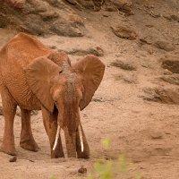 Слон, добывающий воду во время засухи :: Ольга Петруша