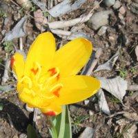 Горный тюльпан :: Тахир АФ