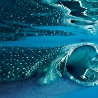 Прогулка с китовой акулой! Филиппины! :: Александр Вивчарик