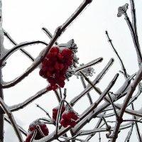Калина во льду :: Татьяна Пальчикова