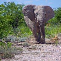 Слон Африканский :: Jakob Gardok