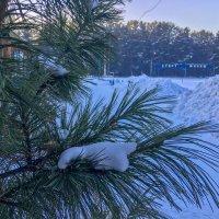 Сибирский кедр :: Roman Freewind