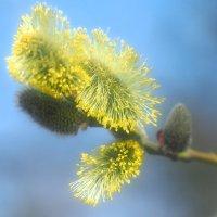 Весточка весны :: Swetlana V