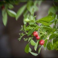 Плоды муррайи :: Василиса Никитина