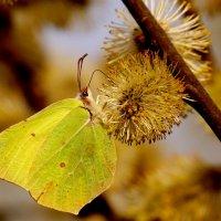 лимонница и апрельская пыльца :: Александр Прокудин