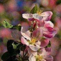 Нежный цветок,розовой дымкой подёрнут :: Татьянка *