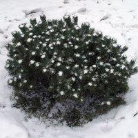 Снежные цветы :: Alexander Varykhanov