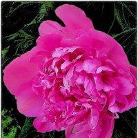 Розовый пион :: Нина Корешкова
