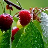 Черешня дождевой водой омыта... :: Nina Streapan