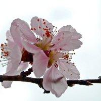 Облако вишневого цвета :: Nina Streapan
