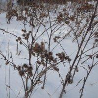 Репейник  зимой :: Svetlana Lyaxovich