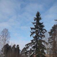 Хвойная красавица :: Svetlana Lyaxovich