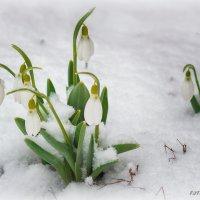 Подснежники, должны быть под снегом ))) :: Сергей Симоненко