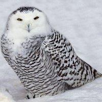 полярная сова :: Олег Петрушов