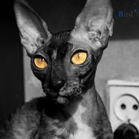 Cornish-Rex.Cattery Bird Liberty Фотограф Гуща Екатерина :: Екатерина Гуща