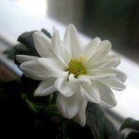Хризантема на окошке :: Елена Семигина