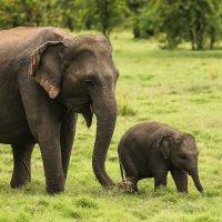 Слон со слоненком :: Ольга Петруша
