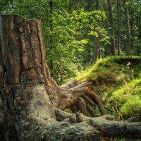 Старое дерево :: Александр Шишин