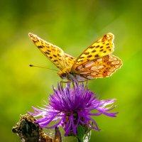 Рыжая маленька бабочка. :: Владимир M