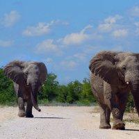 Слоны. :: Jakob Gardok
