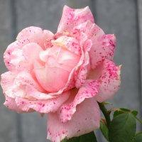 Розы... розы... (конопатые) :: Вячеслав Медведев