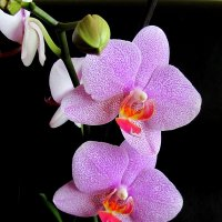 Завораживающий цветок :: Сергей Карачин